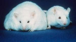 obesidad en ratas